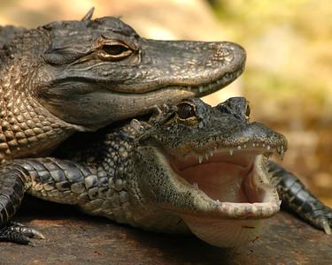 Alligators basking in sun