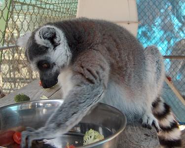 Lemur deciding what to eat
