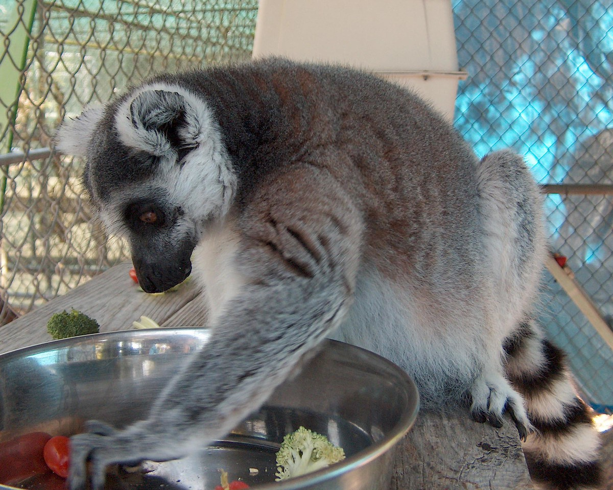 Lemur deciding what to eat