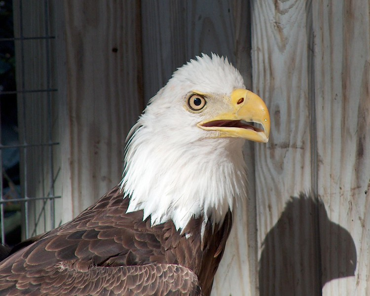 Bald Eagle at Back to Nature Wildlife Center