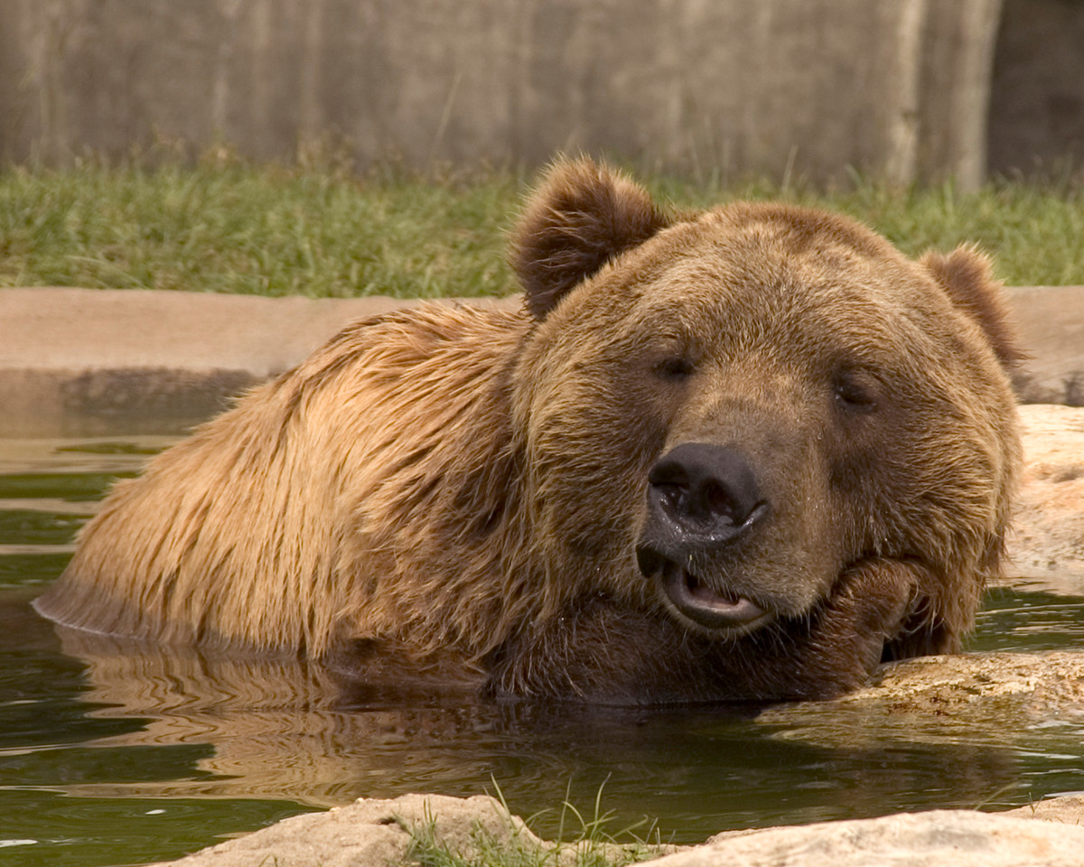 Kodiak Bear relaxing in water pool