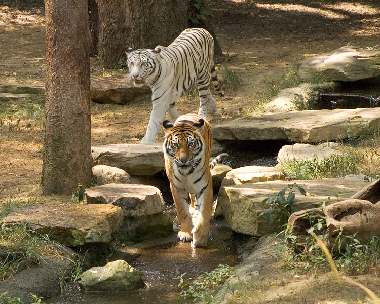 Tigers stolling and relaxing