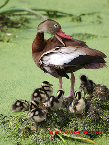 Black Bellied Whistling Duck with her babies at Green Cay Wetlands Reserve.