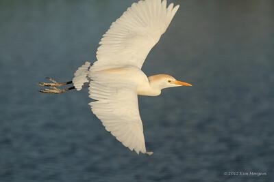 Flying Cattle Egret at Wakodahatchee.