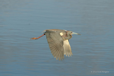This Tri Color Heron is flying off to gather more nesting material at Wakodahatchee.