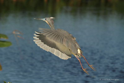 Tri Color Heron in flight at Wakodahatchee.