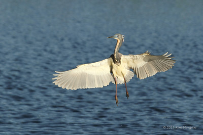 A Tri-Color Heron shows off his flight maneuvers at Wakodahatchee.