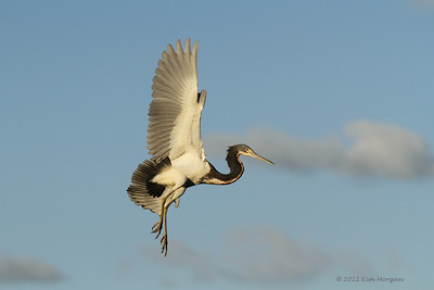 This Tri Color Heron is flying back to his nest at Wakodahatchee.