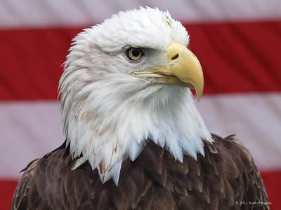 Captive Bald Eagle in Saint Augustine.