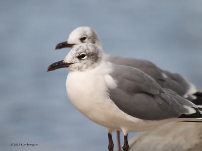 Sea gulls at Amelia Island, FL.