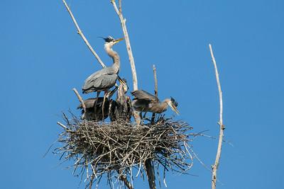 "HERON 8496  ""Heron Family"""