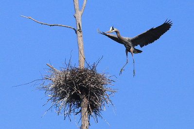 "HERON 7327  ""Great Blue Heron landing on nest"""