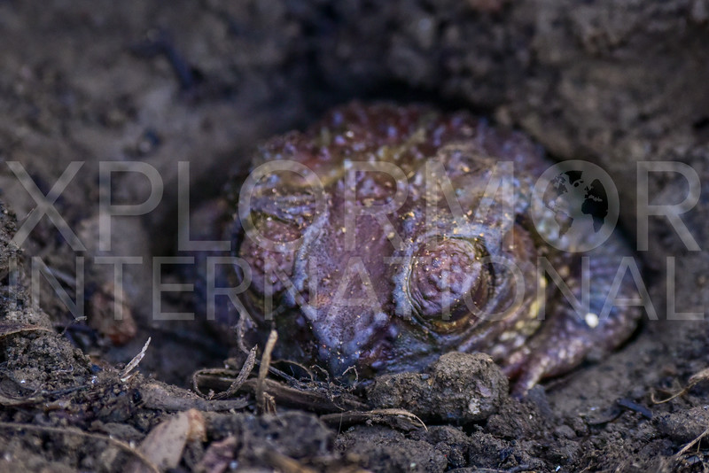Eastern Giant Toad