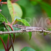Anole - Need ID