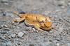 Horned Lizard - Need ID