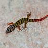 Ashy Gecko