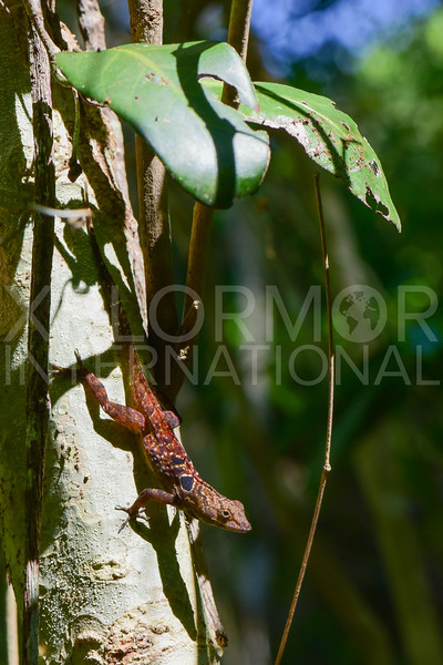 Cuban Eyespot Anole or Peninsula Anole