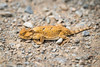 Horned Lizard - Need ID