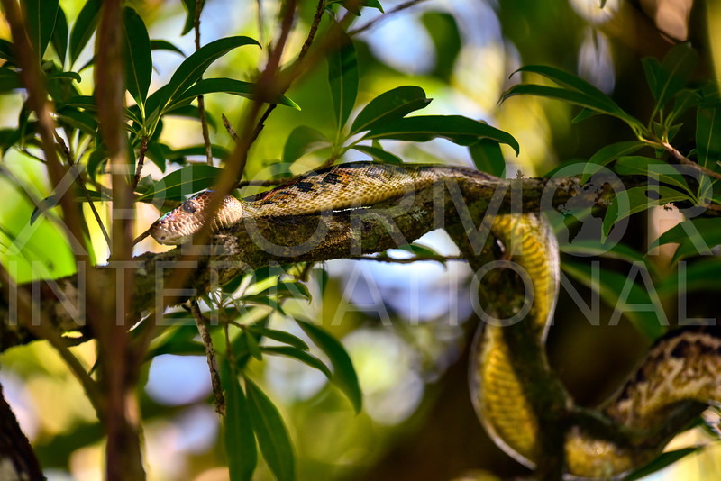 Cuban Tree Boa