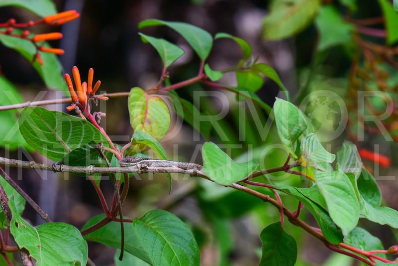 Cuban Twig Anole
