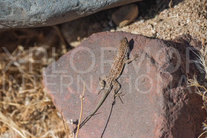 Common Side-blotched Lizard II