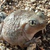 Western spadefoot (Spea hammondii) - Lakeview Mountains, elevation 1800 ft., 19 Oct 2004