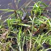 Green Frog (Lithobates clamitans) and Bullfrogs (Rana catesbeiana), summit pond, Wachusett Mountain, Massachusetts, 7 Aug 2007