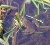 Bullfrog (Rana catesbeiana), summit pond, Wachusett Mountain, Massachusetts, 7 Aug 2007