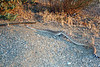 Red diamond rattlesnake (<i>Crotalus ruber</i>), Lakeview Mountains, 11 Sep 2011