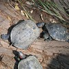 Red-Eared Sliders (Trachemys scripta elegans), U.C.R. Botanic Gardens, 15 May 2005