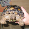 Desert tortoise (Gopherus agassizii) raised in captivity, 13 July 2007