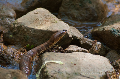 Banded Water Snake with Big Ant