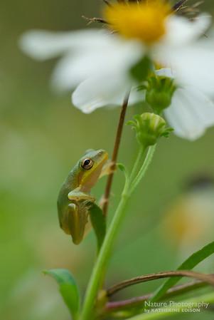 Teeny Weeny Treefrog