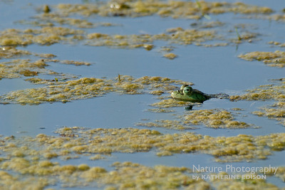 Big Ol' Frog