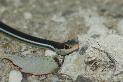 Bluestripe Ribbon Snake