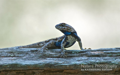 Southern Fence Lizard