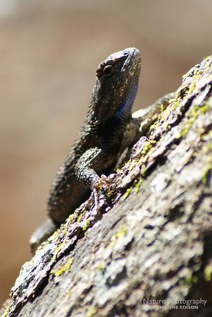 Southern Fence Lizard