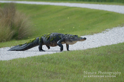 Walking Alligator