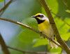 Golden-winged x Blue-winged Warbler (Lawrence's hybrid)