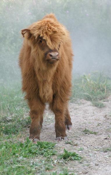 Cows - Highlanders