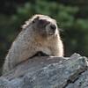 _MG_8696 -Whistler marmot