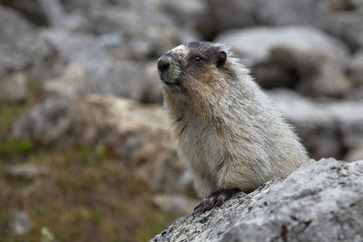 Hoary Marmott