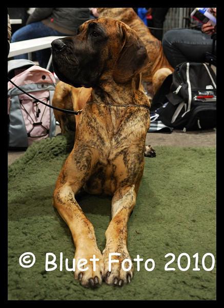 Duitse Dog.