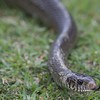 Common Rat Snake