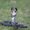 Chinese Cobra