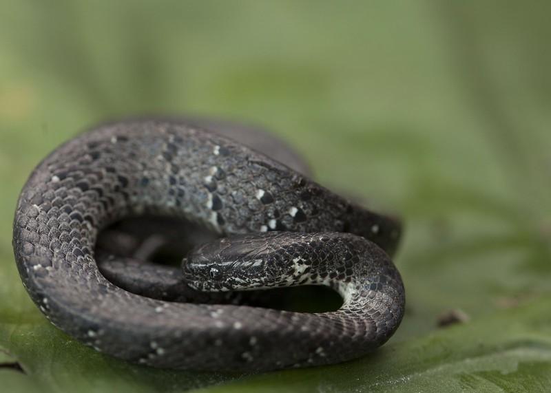 White-Spotted Slug Snake
