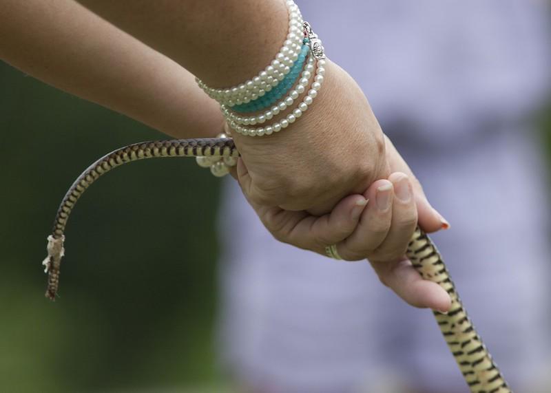 Handling a common rat snake