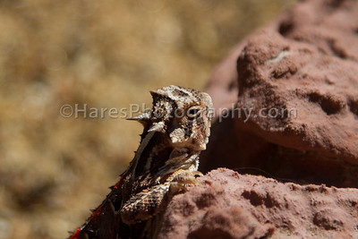 Zoo - Horned Lizards-0954