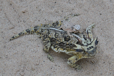 Zoo - Horned Lizards-0891