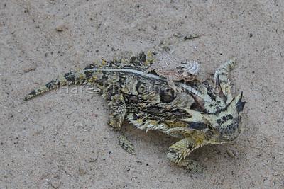 Zoo - Horned Lizards-0891